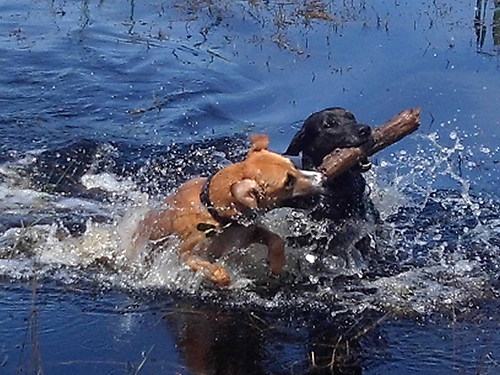 Two large dogs, one brown and one black, playing in the water with a large stick.